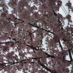 桜のイメージ